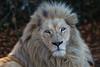 Jake the White Lion