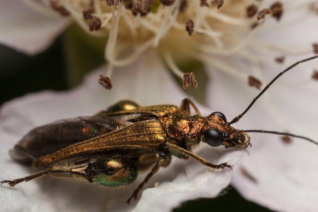 Shiny Beetle (ID?)