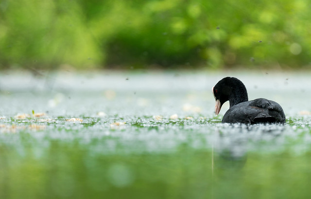 Coot adult