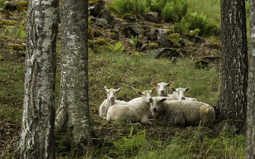 summer sheep 70200mm 1dmk3 kärnäkoski