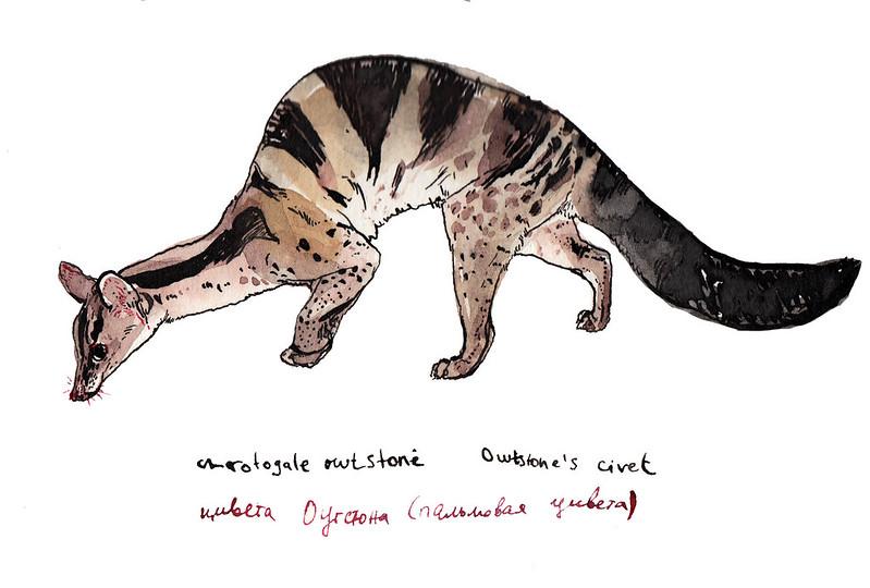 Owstone civet