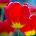 Tulips in new york 1 by VaneVane ;)