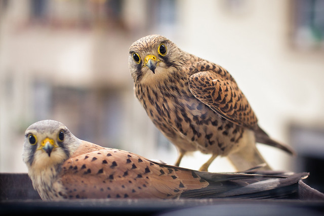 kestrel family