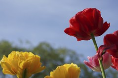 flower, yellow, red, plant, macro photography, flora, coquelicot, plant stem, petal,