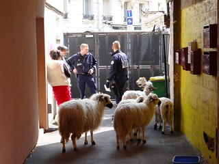 sheep arrested by police