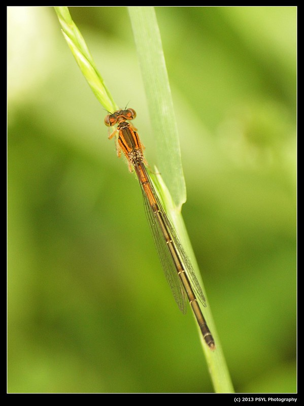 Eastern Forktail (Ischnura verticalis) female