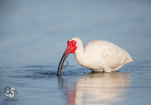 feeding florida ibis eel behavior whiteibis breedingplumage fortdesotofl endlessreach1 carlsshaw carlshawphotography
