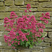 Small photo of Valerian in the Wall
