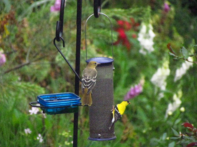 Oriole feeding lesson3 6:27:13