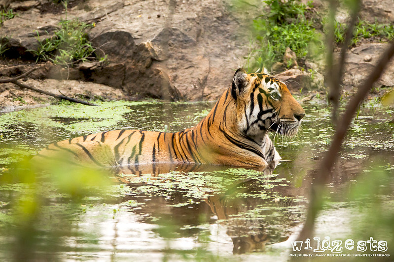 Tiger cooling off at waterhole