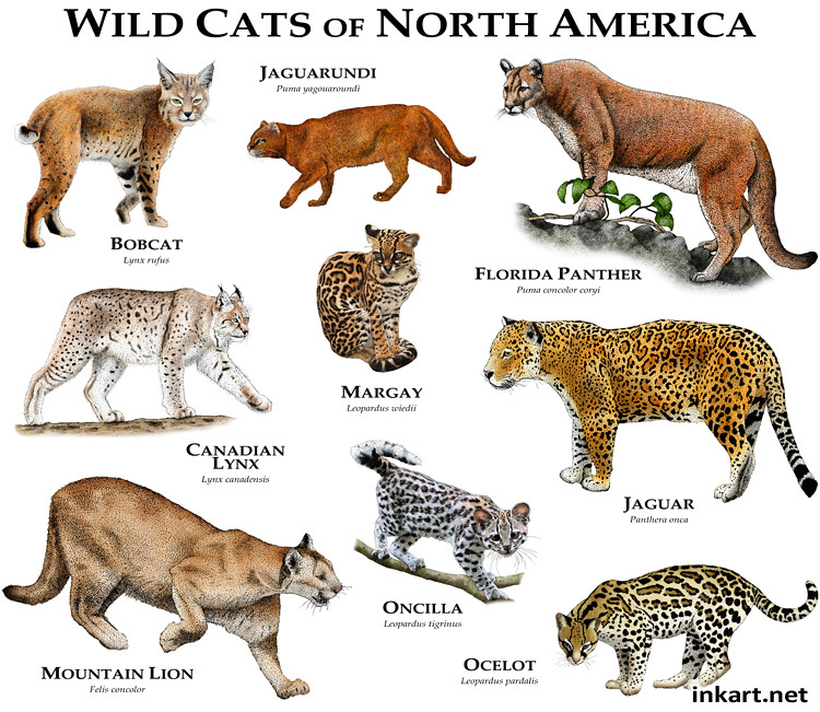 Roger d halls most interesting flickr photos picssr wildcats of north america gumiabroncs Image collections