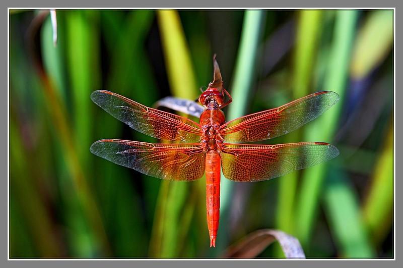 红蜻蜓_图1-2