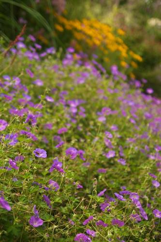 geranium rozanne  3419