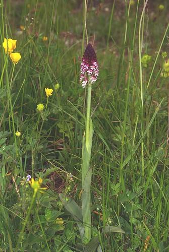 Orchidée_rouge_2
