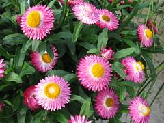 dorotheanthus bellidiformis, annual plant, flower, plant, gerbera, daisy, flora, daisy, petal,