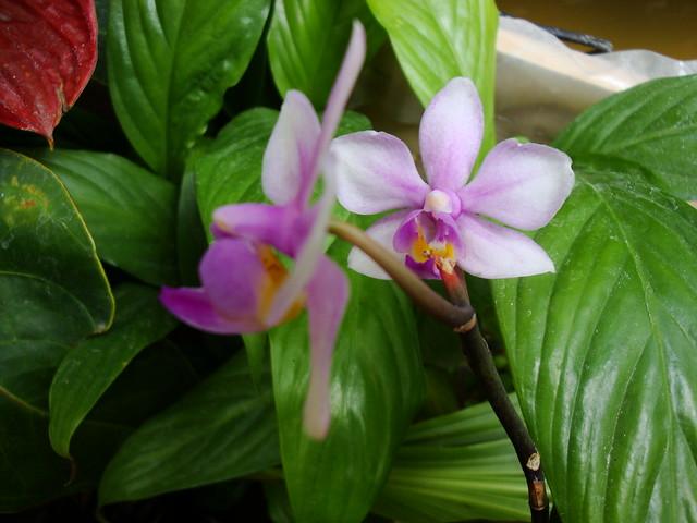 Phalaenopsis Amabracea (amabilis x honghenensis) 9920583014_5402b1fce6_z