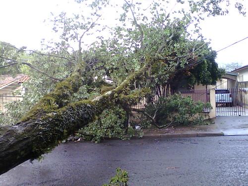 Queda de árvore em Maringá