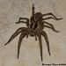 Lycosa tarantula by Jacopo Photo