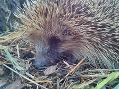 echidna, animal, porcupine, domesticated hedgehog, monotreme, erinaceidae, fauna,