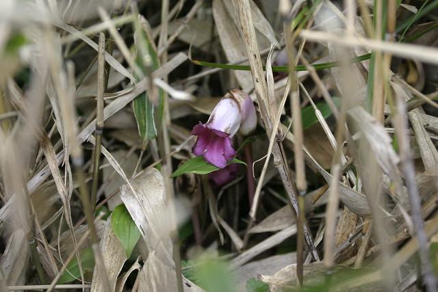 ススキの近くにひっそりと咲いていたオオナンバンギセル.