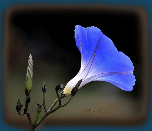 A botanical study:  Ipomoea tricolor; the color of my eyes