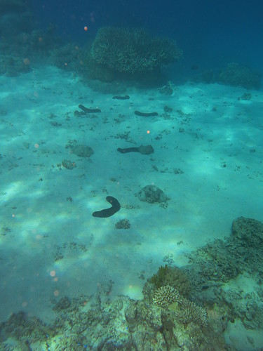 Sea cucumbers, Great Barrier Reef