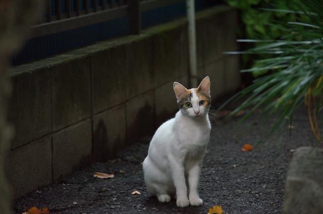 東京路地裏散歩 雑司ヶ谷のネコ 2013年11月4日