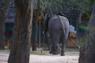 Elephant visit to the camp