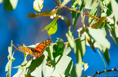 MonarchButterfly