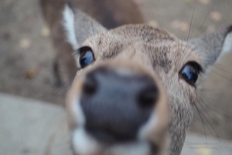 奈良公園餵鹿去 | 京都奈良