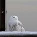 Snowy Owl sidelong glance