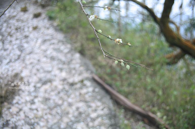 台南私藏景點--梅嶺梅花季  2013 (49)