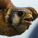 Small photo of American Kestrel