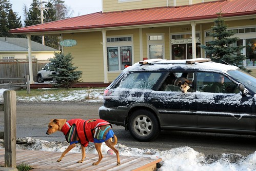 Husky mix checking out Rosie from the back seat of a car, arctic jacket (put on awkwardly), sweater, hoodie, snow, old town, Homer, Alaska, USA by Wonderlane