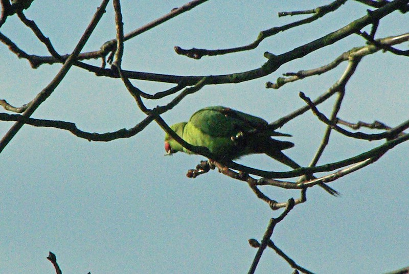 Parakeet in the tree