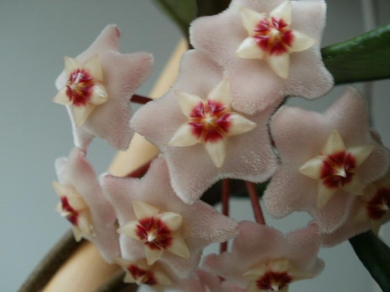 Al fin floreció mi carnosa!!! 12250133314_f49130c3f9_c