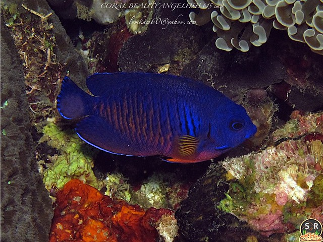 CORAL BEAUTY ANGELFISH (15 cm) (1) | Flickr - Photo Sharing!