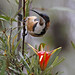 Spinebill with a little devil by Christina Port