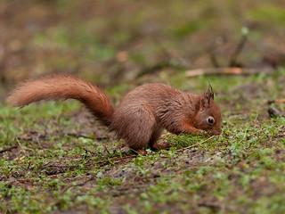 Red-Squirrel Digging