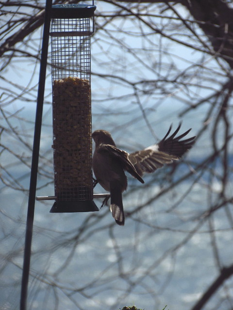 Northern Mockingbird2 3:26:13