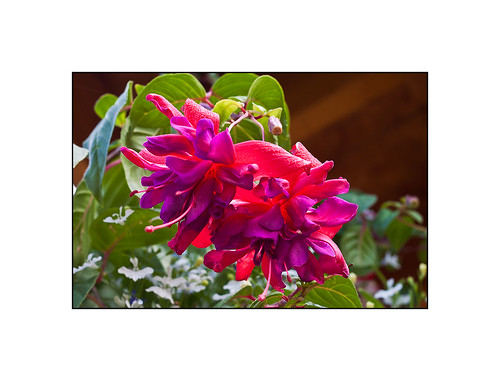 Magenta Fuschia Blossoms by Rustic Pixel