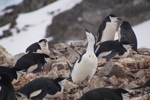 103 Wandeling Halfmoon Island - kinbandpinguins