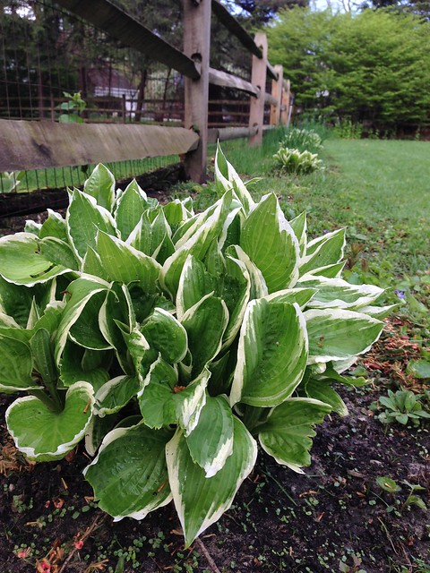 In the Garden Today: Hostas and Chives