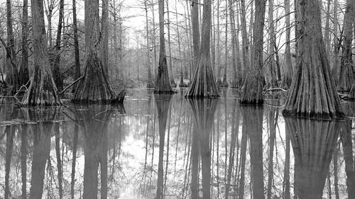 tree swamp stump trunk cupressaceae conifer buttress baldcypress taxodium taxodiumdistichum