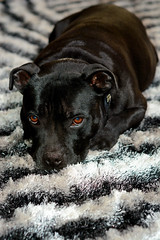 dog breed, animal, dog, pet, mammal, close-up, patterdale terrier, staffordshire bull terrier, black,