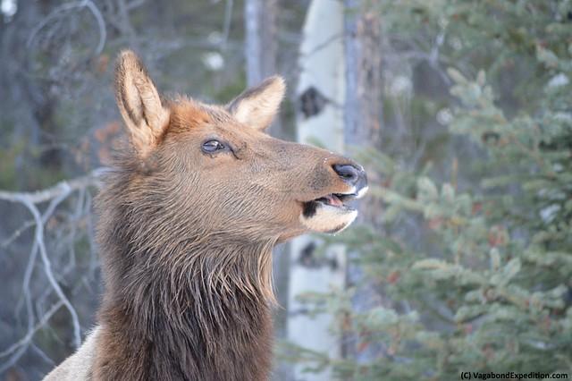 1024 - elk chewing DSC_0409