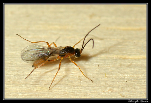 Braconidae/Aphidiinae