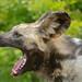 Small photo of Wild Dog (Lycaon pictus) female yawning