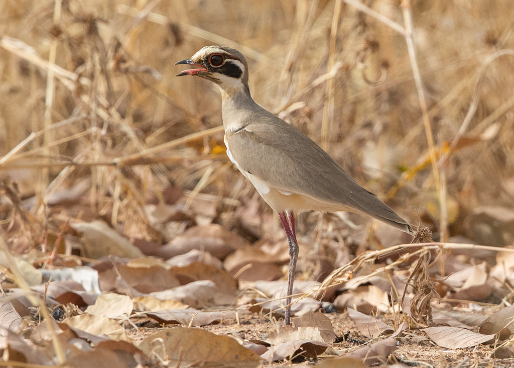 Bronze-winged Courser  Gambia