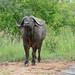 Small photo of African Buffalo (Syncerus caffer)